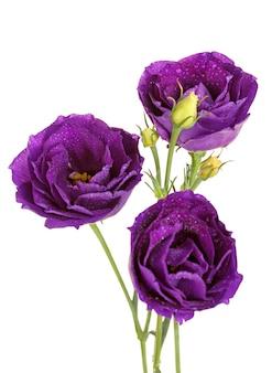Fioletowy kwiat eustoma na białym tle