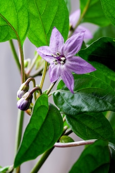 Fioletowy kwiat gorącej gorzkiej papryki z bliska makrofotografii