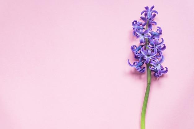 Fioletowy kwiat hiacyntu na pastelowym różu. leżał płasko, widok z góry, miejsce