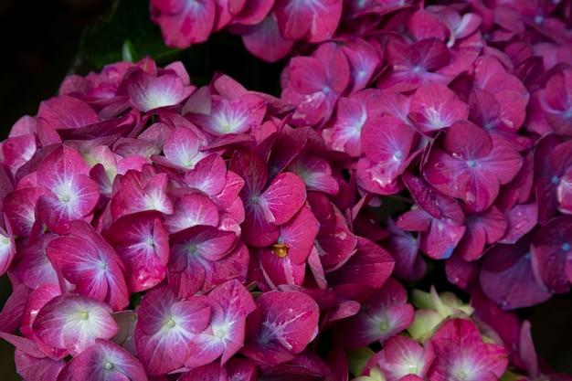 Fioletowy kwiat hortensji hortensja macrophylla w ogrodzie, lato w tle