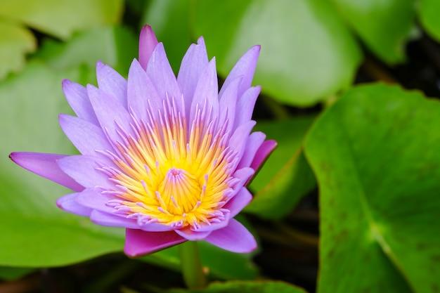 Fioletowy kwiat lotosu otwarty na stawie z żółtym środkiem i zielonym liściem wokół.