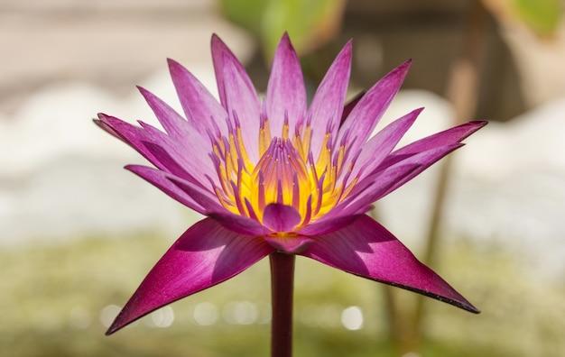 Fioletowy kwiat lotosu