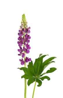Fioletowy kwiat łubinu na białym tle łubin lub wilcza fasola piękne letnie kwiaty