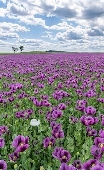 Fioletowy kwiat maku pole z białymi chmurami na błękitnym niebie