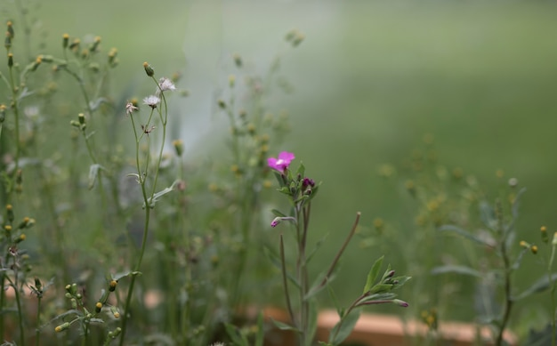 Fioletowy kwiat na niewyraźne tło zielonej trawy z miejscem na tekst