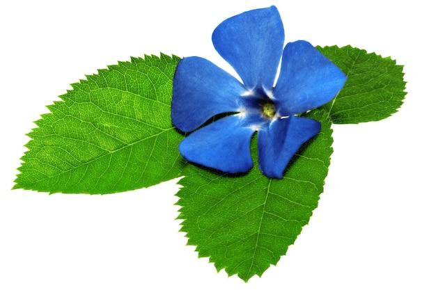 Fioletowy kwiat na zielonym liściu. zbliżenie na białym tle. na białym tle.