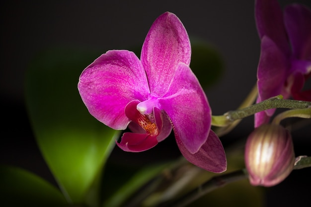 Fioletowy kwiat orchidei na ciemnym tle