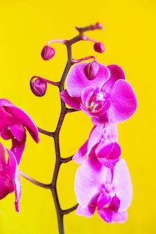 Fioletowy kwiat orchidei phalaenopsis, phalaenopsis lub falah na szarym