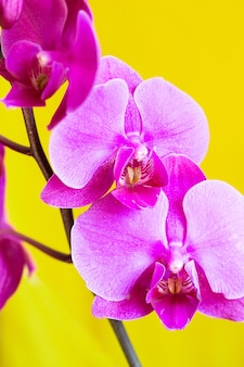 Fioletowy kwiat orchidei phalaenopsis, phalaenopsis lub falah na żółtym tle