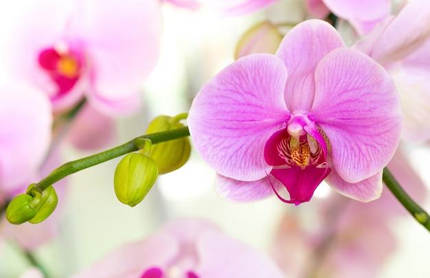Fioletowy kwiat orchidei phalaenopsis