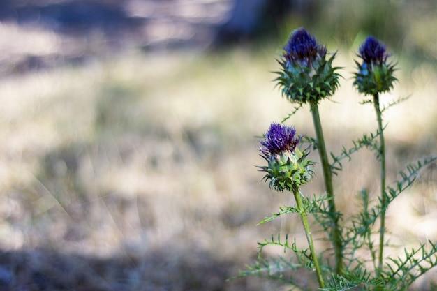 Fioletowy kwiat ostu włóczniowego na rozmytym polu