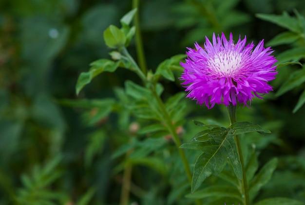 Fioletowy kwiat rozmazane tło