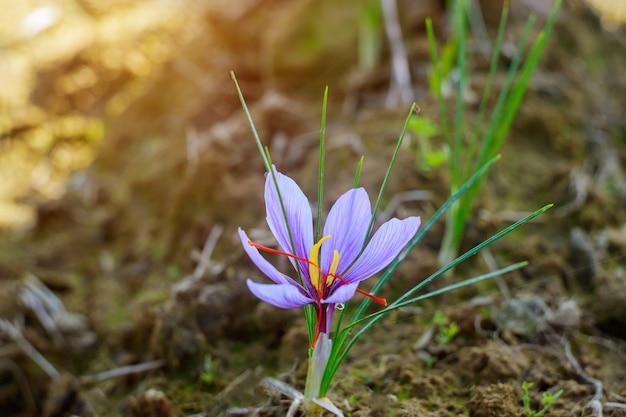Fioletowy kwiat szafranu rośnie w ziemi.