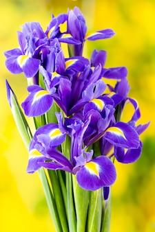 Fioletowy kwiat tęczówki na żółtej powierzchni.