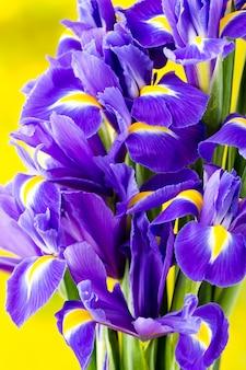 Fioletowy kwiat tęczówki na żółto