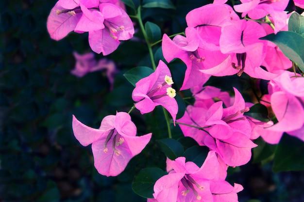 Fioletowy kwiat tekstury tła, naturalne tło