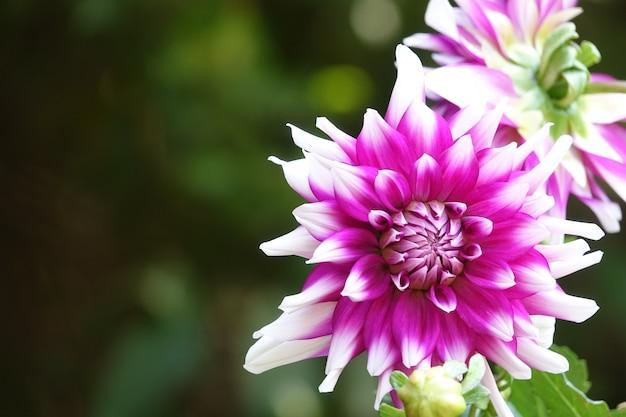 Fioletowy kwiat z białymi końcówkami