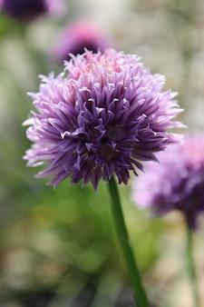 Fioletowy kwitnący dziki szczypiorek w ogrodzie