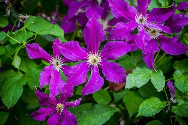 Fioletowy kwitnący powojnik zbliżenie. kwitnąca liana ogrodowa