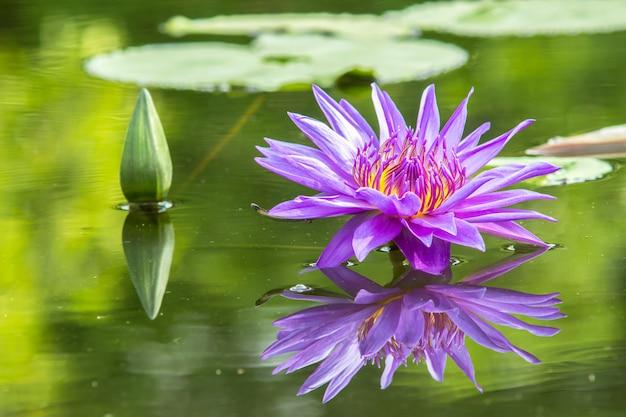 Fioletowy lilia wodna w stawie