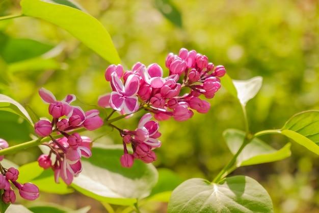 Fioletowy liliowy z białymi krawędziami. liliowy sensacyjny. piękny bukiet fioletowych kwiatów zbliżenie. kwitnąca selekcja odmianowa dwukolorowa liliowa syringa