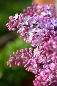 Fioletowy liliowy zbliżenie