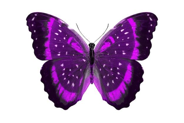 Fioletowy motyl. naturalny owad. na białym tle