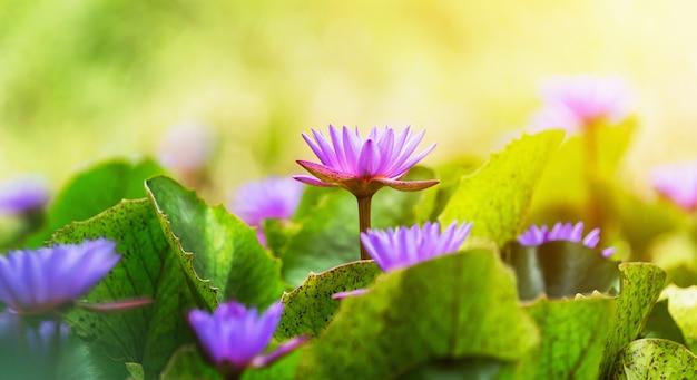 Fiołkowy kwiat lotosu z zielonymi liśćmi i światłem słonecznym
