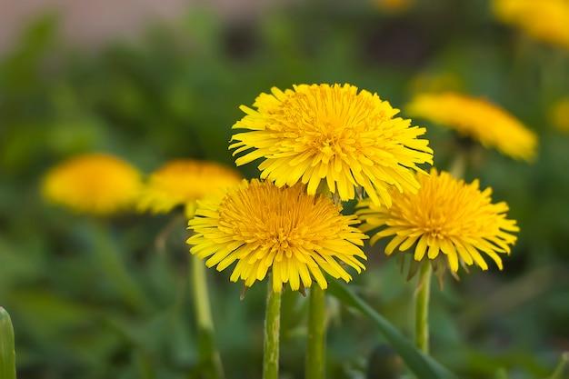 Fiore di tarassaco w primavera. fioritura del fiore di tarassaco.