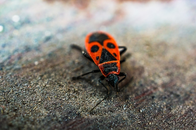 Firebug na drewnianej powierzchni.