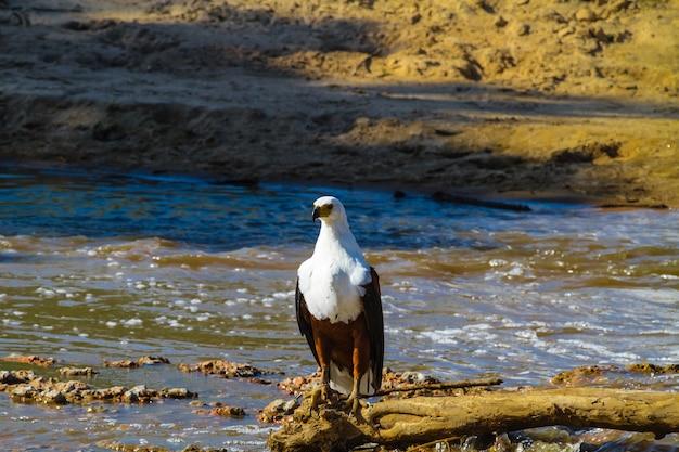 Fisher eagle nad brzegiem rzeki grumeti. serengeti, tanzania