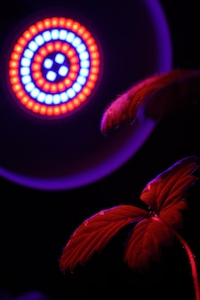 Fitolampa led oświetlana jest czerwonym światłem z liści roślin. zbliżenie.