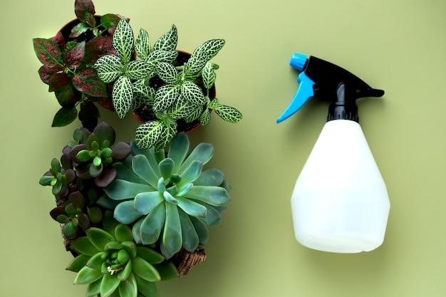 Fittonia, hypoestes, sukulenty, kaktusy. zostań w domu i pracuj w ogrodzie. ponowne sadzenie kwiatów w krytym ogrodzie. rośliny doniczkowe w domu, artykuły ogrodowe, układ miejskiej dżungli.