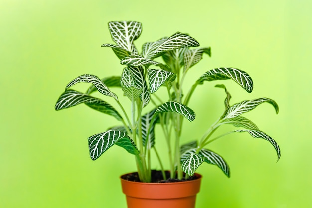 Fittonia roślina na zielonym tle. rośliny domowe dla dzieci.