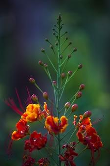 Flam-boyant i the flame tree, royal poinciana z jasnopomarańczowymi kwiatami w parku