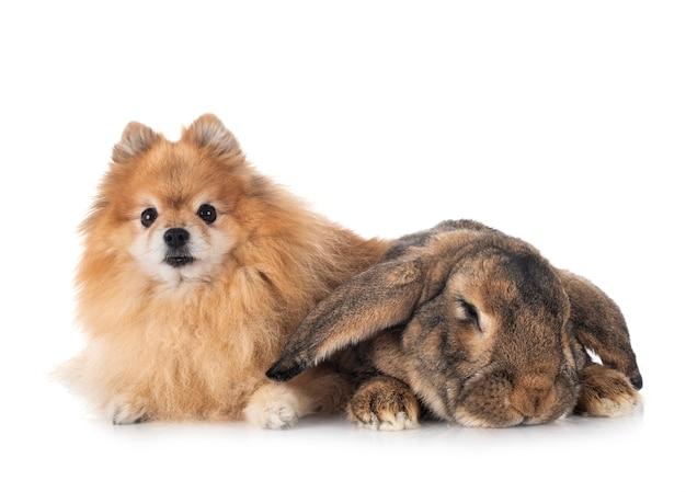 Flamandzki olbrzymi królik i szpice pozują razem