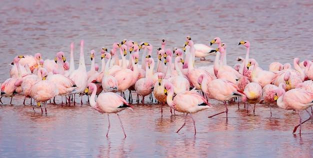 Flamingi andyjskie w laguna colorada eduardo avaroa rezerwat narodowy fauny andyjskiej boliwia
