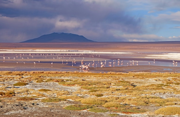 Flamingi flamboyance pasące się w laguna colorada lub the red lagoon w boliwijskim altiplano boliwia