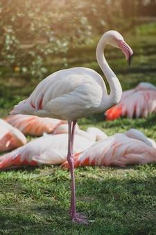 Flamingi lub flamingi o zachodzie słońca. ptak z rodziny phoenicopteridae.