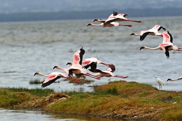 Flamingi w afryce jeziora nakuru parku narodowego