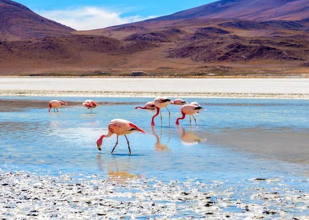 Flamingi w lagunie kolorado