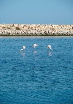 Flamingi w oddali nad morzem śródziemnym w tunezji.