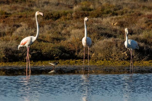 Flamingi w parku przyrody delta de l'ebre, tarragona, hiszpania