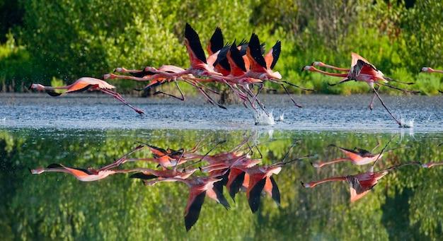 Flamingi z karaibów latają nad wodą