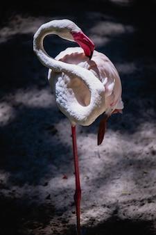 Flamingo phoenicopteridae piękny ptak