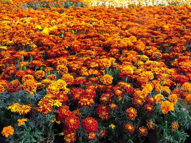 Flor de cempasuchil o flor de muerto