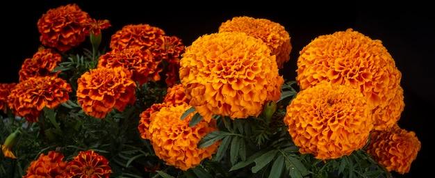 Flor de cempasuchil usada en dia de muertos tradicion mexicana