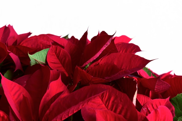 Flor de nochebuena navidad o pascua