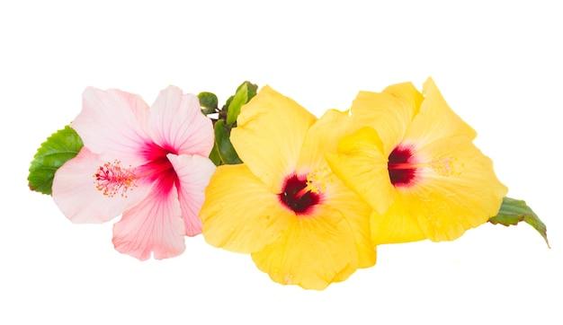 Flowesr różowy i żółty hibiskusa na białym tle