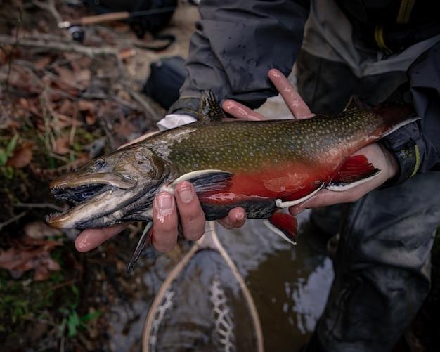 Fly fishing, złap i wypuść dużego pstrąga potokowego